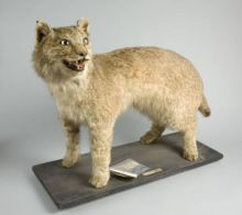 This lynx once roamed in the British countryside, successfully hunting, even after spending time in captivity. It's story was rediscovered over 100 years after its death. (Source: bristol.gov.uk)